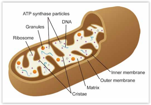 Mitochondrial Support